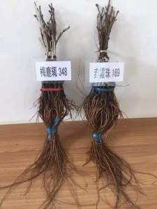 136236_ningxia-chenggong-group-vines-cabernet-sauvignon-merlot